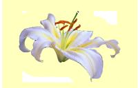 kwiat_200